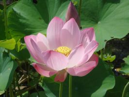 Lotus in Bloom by rosecoloredcloud