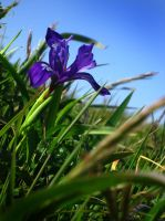 Wild Iris by rebekahlynn-photo
