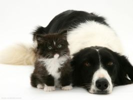 Black-and-white-border-collie-lying-chin-on-floor- by InternalsFury