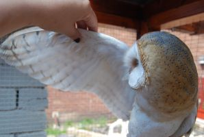 BARN OWL STOCK WING by Theshelfs
