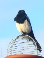 Magpie by BabaKinkin
