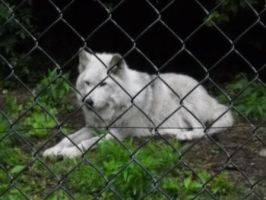 Wolf Preserve 4 by Joducus
