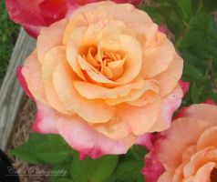 Rose of Colors by RebeKahsOwnPlace