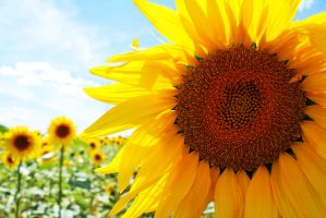 Sunflower by Moyrah