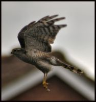 Sparrowhawk in flight by Somebody-Somewhere