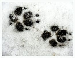pawprints in the snow by Mittelfranke