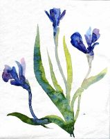 Watercolor_Iris by Sandra-777