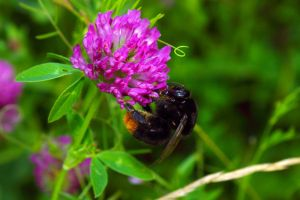 bumblebee on clover by jagerion