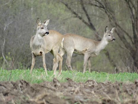 Watchful Roe-Deer Couple by Rixxes