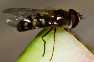 hoover fly aka wounded bee by depshado