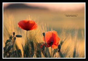 poppies by declaudi