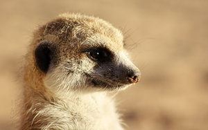 Little Meerkat by enohla