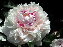 White Peony by Lalanenn