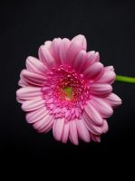 Pink Flower by latrieste