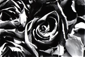 Roses by sizarah
