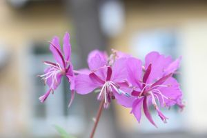 pink flowers by FreedomeSoul88