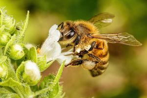 Honeybee in Basil I by dalantech