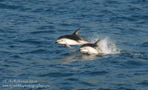 Porpoising Dusky Dolphins by Shadow-and-Flame-86