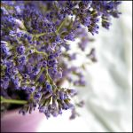 Limonium by pensive-painter