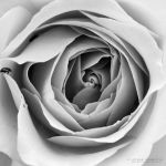 White Rose by DREAMCA7CHER