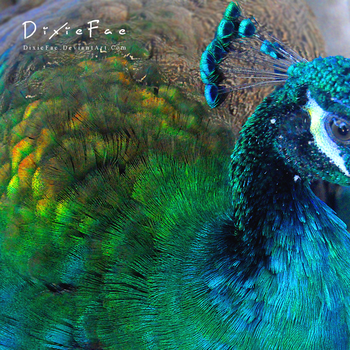Peacock by CatherineHH