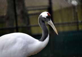 Japanese Red Crowned Crane by AsianWhitegirlX