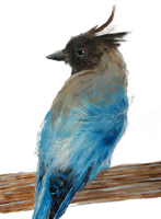 Stellers Jay by solid-paradox