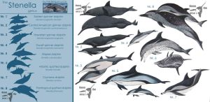 The stenella genus - poster by namu-the-orca
