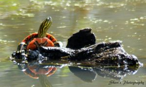 Turtle on Log by Sheriannphotography