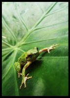 Little green frog by MaggieBebbe