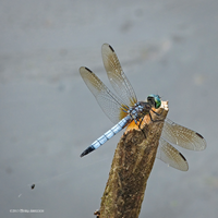 Dragonfly six by Mogrianne
