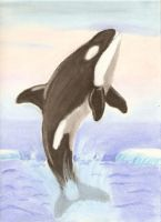 Killer Whale I drew by Chickaroo16