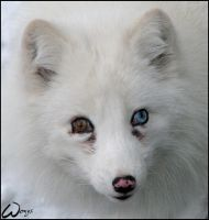 Blue-eyed polar fox by woxys