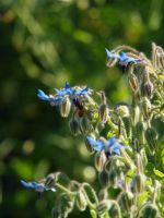 Bees on Borage 01 by botanystock