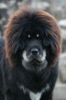 Kong, the cute Tibetan Mastiff by SaNNaS