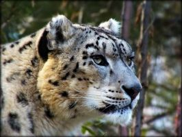 snow leopard by cheshirecat84