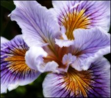 ANOTHER IRIS by THOM-B-FOTO