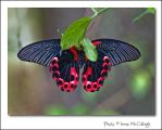 Scarlet Mormon from Below by substar