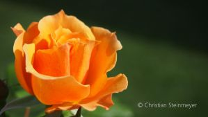 Orange Rose by RHARIZONA