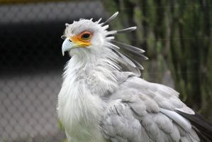 Secretary Bird 3 by firenze-design