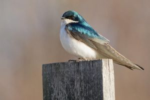 Tree Swallow by bovey-photo