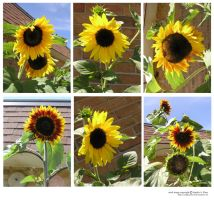 stock pack_sunflowers by sophiaastock