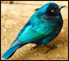 Burchell's Glossy Starling 2 by stainless2009