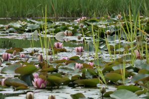 water lily 4 by Drezdany-stocks