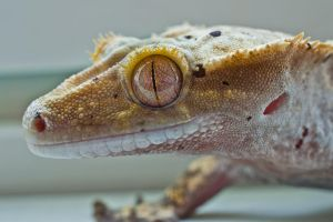 Gecko eye 2 by nakkimo