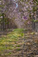 Blossoms II by shapeshiftphoto