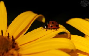 Ladybug on yellow by webcruiser