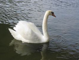 swan I by mimose-stock