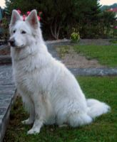 fake white wolf1 by syccas-stock