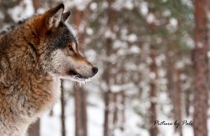 Wolf in profile by PictureByPali